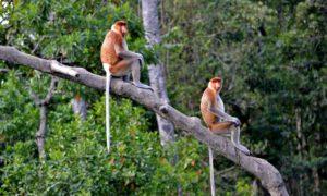 In Borneo nel santuario delle scimmie con la proboscide