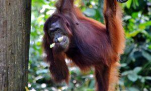 Faccia a faccia con gli oranghi del Borneo nel centro di riabilitazione di Sepilok