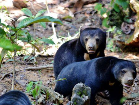 Vedere gli orsetti del sole nel Borneo malese