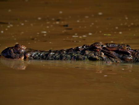 Tra coccodrilli e scimmie, lungo il fiume Kinabatangan